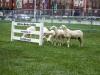 Sheep Herding-2