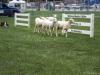 Sheep Herding-5