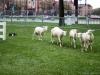 Sheep Herding-6
